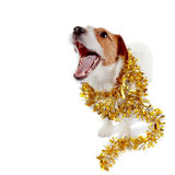 Doggie of breed a Jack Russell Terrier and Christmas tinsel Royalty Free Stock Photography