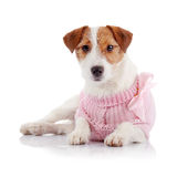 Doggie of breed a Jack Russell Terrier in a pink jumper Stock Photos