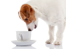 Doggie of breed a Jack Russell Terrier and white cup. Stock Photos