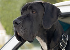 Doggie car ride. Huge black dog out for a car ride Royalty Free Stock Images