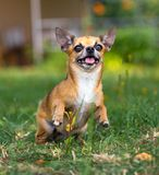 Doggie Chihuahua Stock Photos