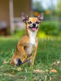Doggie Chihuahua Stock Images