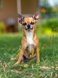 Doggie Chihuahua Royalty Free Stock Image