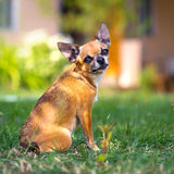 Doggie Chihuahua Stock Image
