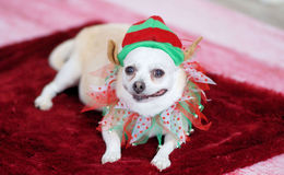 Doggie in Christmas outfit royalty free stock photo