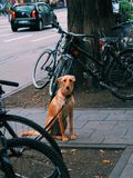 Doggie. Dog wait obey owner stock images