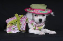 Doggie Dress-Up. Chihuahua in dress and hat Stock Photography