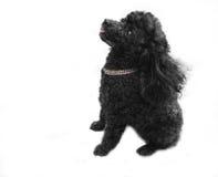 Doggie expectante com lingüeta cor-de-rosa Fotografia de Stock Royalty Free