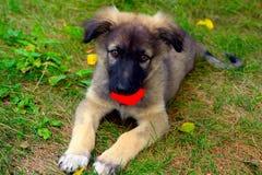 Doggie met een rood plastic stuk speelgoed stock afbeeldingen