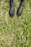 Doggie paws stretched out. In the grass. Doggies that has black paws and black nails. Paws laying on top of the nice green grass. Paws are at the top of the Royalty Free Stock Photos