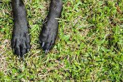Doggie paws stretched out in the grass. Doggies that has black paws and black nails. Paws laying on top of the nice green grass Royalty Free Stock Images
