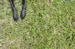 Doggie paws in the grass. Doggie paws stretched out in the grass. Doggies that has black paws and black nails. Paws laying on top of the nice green grass. Paws stock photos
