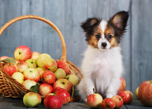 Doggie sits near the basket Stock Photography
