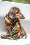 Doggie Style: Profile of Dog with Scarf. Profile of fashionable, sophisticated dachshund dog wearing a scarf Royalty Free Stock Image