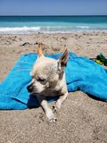 Doggie on vacation. Doggie vacation beach warm sunshine stock photos