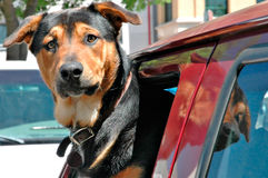 Doggie in the window. Alert dog looking out of a truck window royalty free stock photos