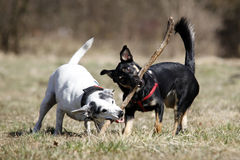 Doggies. Cute doggies playing with a stick - outdoor picture Stock Photography