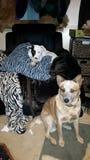 doggies Imagem de Stock