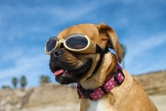 Doggles. A 8-month old puggle posing for the camera in Huntington Beach dog beach in California Royalty Free Stock Photos
