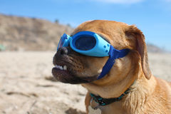 Doggles Royalty Free Stock Images