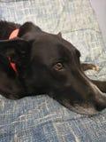 Doggo modèle photographie stock libre de droits