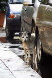 Doggy. Poor frightened stray doggy hiding behind the car Stock Photo