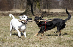 Doggy. Cute doggies playing with a stick - outdoor picture Royalty Free Stock Photography