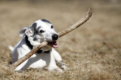 Doggy. Cute white doggy playing with a stick - outdoor picture Stock Image