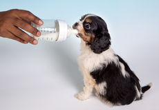 doggy младенца Стоковое Изображение RF