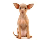 Doggy Royalty Free Stock Images
