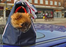 Doggy in a bag Royalty Free Stock Photo