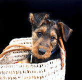 Doggy in a basket Royalty Free Stock Photography
