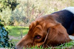 Basset hound dog lying in the field Royalty Free Stock Photos