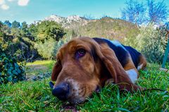 Basset hound dog lying in the field royalty free stock image