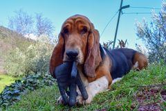 Basset hound dog lying in the field royalty free stock photo