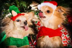 Doggy Christmas party stock image