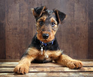 Doggy on a crate. 8 weeks old little airedale terrier puppy dog with its paws on a crate Royalty Free Stock Photo