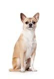 Doggy di colore paglierino sveglio di seduta Fotografie Stock