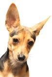 Doggy engraçado Fotos de Stock Royalty Free