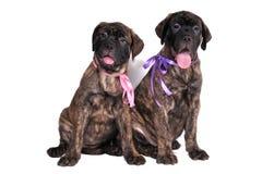 Doggy Friendship Royalty Free Stock Photo