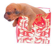 Doggy gift Stock Image