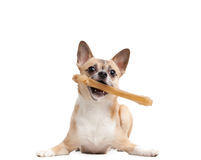 Doggy keeps bone in the teeth Royalty Free Stock Images