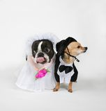 Doggy marriage. A boston terrier and a chihuahua in wedding attire Stock Photography