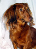 Doggy Model. Miniature, long-haired Dachschund Stock Image