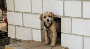 A doggy is near a kennel. A little beige doggy stands near a kennel Royalty Free Stock Photo