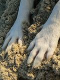 Doggy Paws in Sand. White dog's paws in the sand Royalty Free Stock Images