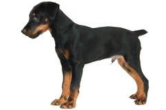 Doggy pequeno Imagem de Stock Royalty Free