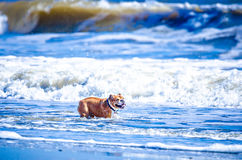 Doggy playing on the coast of south carolina Stock Images