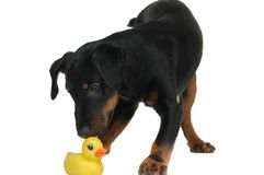 Doggy playing with duck Royalty Free Stock Photography