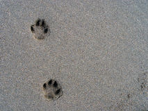Doggy prints. Paw prints in the sand Stock Photos